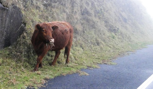 Crater Road Cow