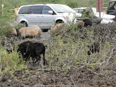 Picture of wild goats at Ahihi Kinau Natural Area Reserve, Maui, Hawaii.