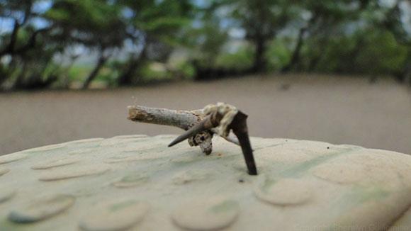 Kiawe Tree thorn
