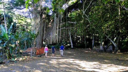 Picture of huge tree with vines hanging all around at Honolua Bay, Maui.
