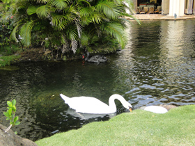 White swan at the Hyatt Regency Maui