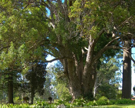 Picture of Hawaii's largest camphor tree.
