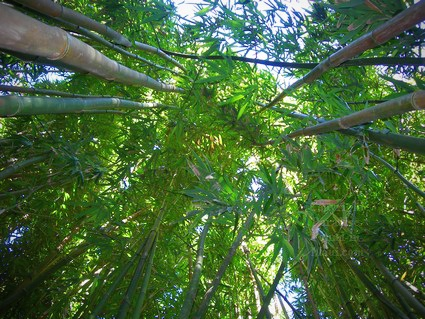 Looking up through bamboo stalks.