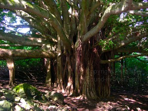 Maui picture of banyan tree along the Pipiwai Trail on our hike with Hike Maui.
