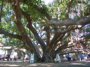 Courtyard Square Banyan Tree