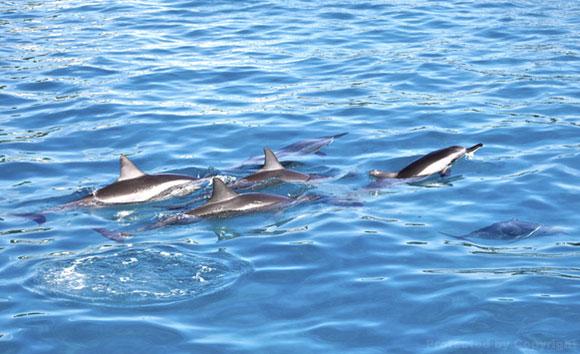 Lanai dolphins
