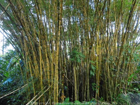 Picture of Malaysian Bamboo.