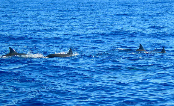 Dolphins near Maui and Lanai