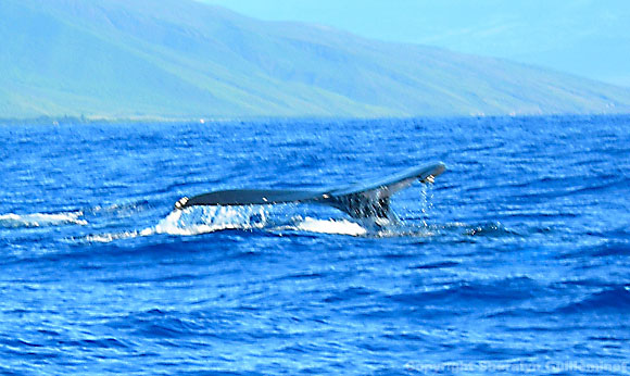 Whale tail slap off Island of Lanai.