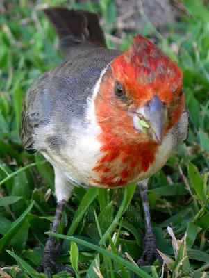 Picture of a Maui red crested cardinal on our Maui HI vacation