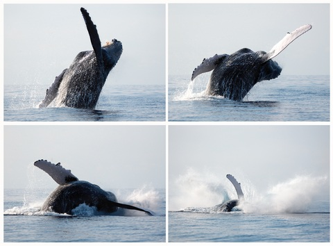 A series of pictures of a whale breaching near Maui, Hawaii.