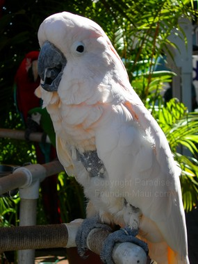 Picture of parrot on display in Lahaina on our Maui HI vacation