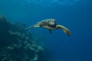Hawaiian Sea Turtle Honu