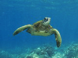 hawaiian sea turtle honu
