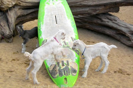 Picture of goats playing with a surfboard at the Surfing Goat Dairy.