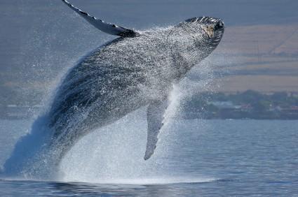 whale watching in Maui breach
