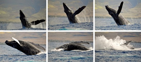 Picture of a whale jumping out of the ocean while whale watching in Maui, Hawaii.