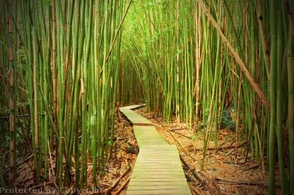Maui Hana Bamboo Forest Hike 2 Jpg Dustin K Ryan Photography