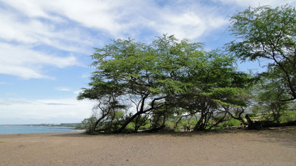 Kiawe Trees at Maui's Oneuli Black Sand Beach.