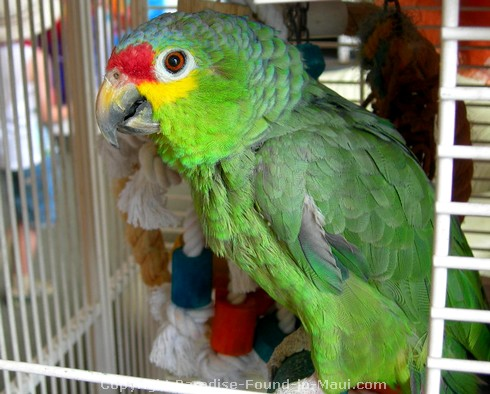 Picture of Baby, the Amazon Green Parrot, in Sargent's Fine Art in Lahaina, Maui.