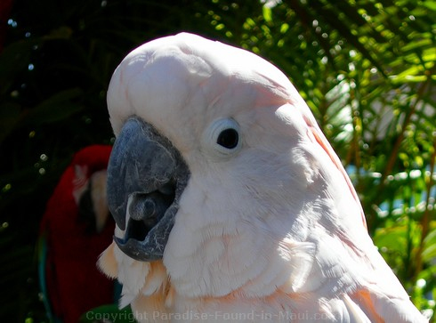 Head shot of the white parrot in Lahaina in front of the Pioneer Inn.