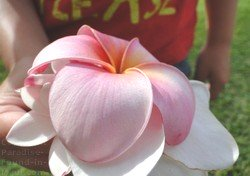 Picture of plumeria blossoms on Maui, Hawaii.