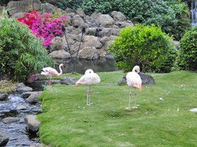 Pink flamingos at the Hyatt Regency Maui