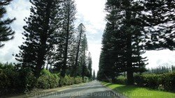 Picture of cook pines along the road in Kapalua, Maui, Hawaii.