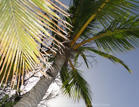 Picture of Palm Tree and blue sky in Maui, Hawaii.