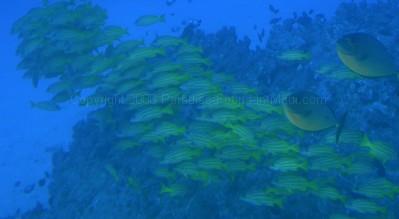 Fish underwater on Atlantis submarine tour in Maui.