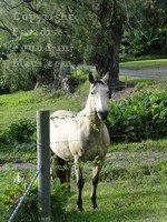 A horse in the pasture overlooking the Hasegawa General Store parking lot in Hana, Maui, Hawaii.