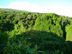 Maui picture of jungle treetops and greenery covered cliffs along the Pipiwai Trail as we hiked with Hike Maui