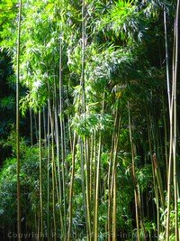 picture of bamboo forest along the Pipiwai Trail, Maui, Hawaii