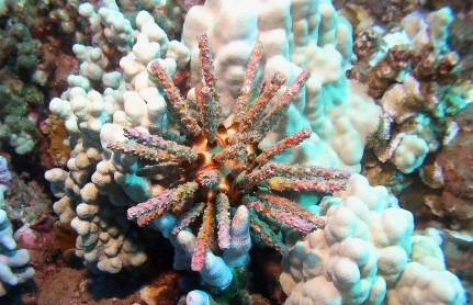 picture of sea urchin at Molokini Island on a Molokini Snorkeling Trip