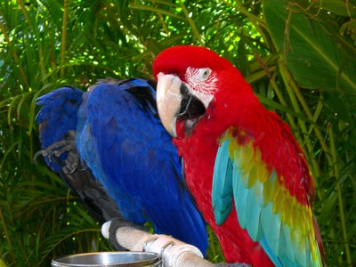 Lahaina Parrots