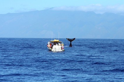 whale watching in Maui from boat in ocean